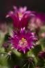 Когда цветет кактус?