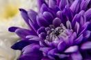 Хризантемная роскошь