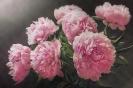 Aromat różowych piwonii