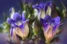Kwiat Gentiana