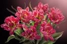 Magia różowych tulipanów