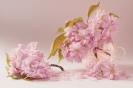 Kiedy kwitnie sakura