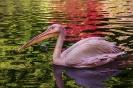 Pelikani raj