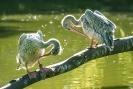 Siedziały pelikany...